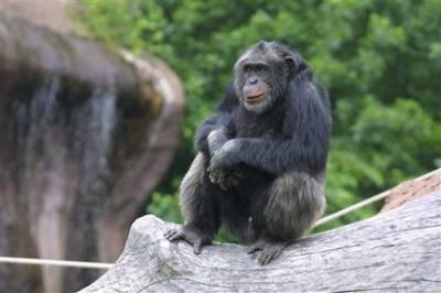 sweden chimp Scientific Proof that Humans Did Not Evolve from Chimps