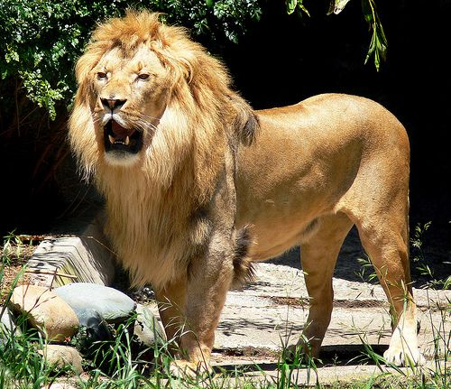 african lion pride. African Lion Pictures