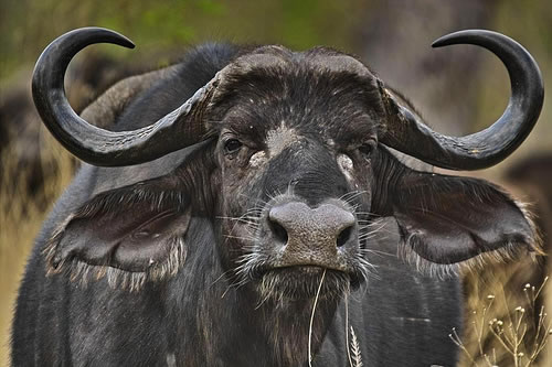 cape buffalo 10 Deadliest Animals to Humans on Earth
