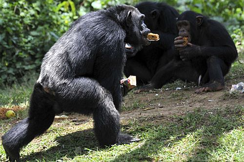 chimp Scientists Prove That Men Have Evolved From Apes (or the other way around?)
