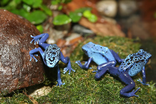 poison dart frog 10 Deadliest Animals to Humans on Earth