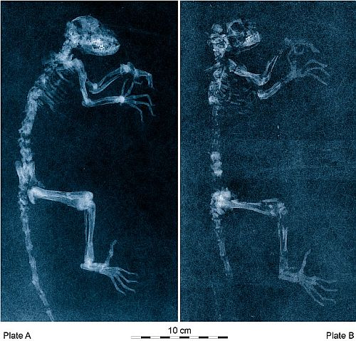 Ida, the 47million-year-old lemur could be the missing link in human's evolution