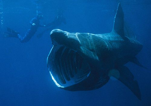 basking shark Basking Sharks, the Huge Disappearing Fish (Pictures)