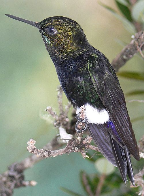 Colombian Gorgeted Puffleg