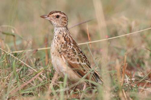 ethiopian sidamo lark Three More Birds Join the Critically Endangered List