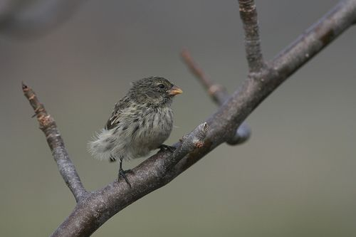 galapagos tree finch Three More Birds Join the Critically Endangered List