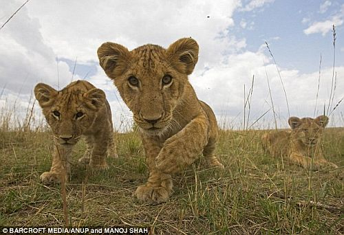 Lion cubs from the Ol Liombo pride in the Masai Mara, Kenya 