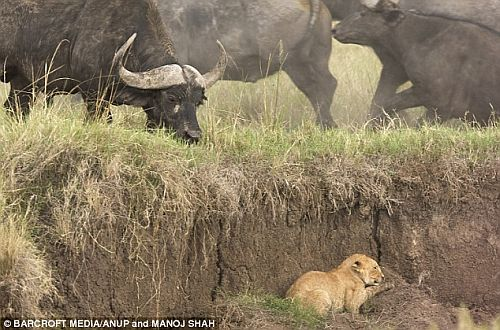Lion cub trapped by a herd of Cape Buffalo
