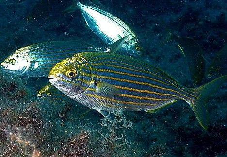 The sarpa salpa fish that causes LSD-like hallucination