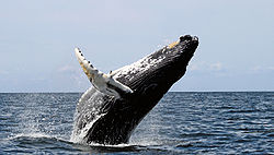 humpback whale US May Take Humpback Whale Off Endangered Species List