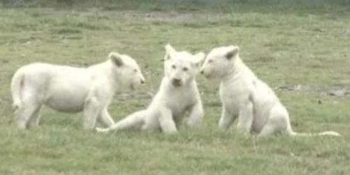 white lion cubs Rare White Lion Cubs Ready for the Public Eye