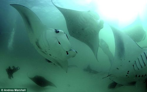 manta ray1 Biologist Takes a Trip to the Amazing World of the Giant Manta Ray