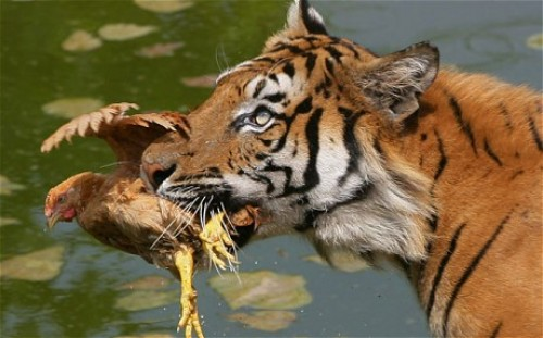 china tiger 1805851c e1295886838555 China Bans Animal Circuses; Warns the Zoos to Stop Abuse Against Animals