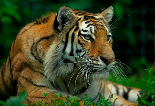 tiger Expanding & Connecting Reserves Could Save Tigers from Extinction