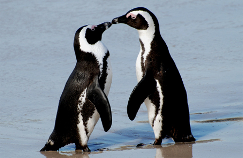 african penguin couple Scientists Play Cupid to Penguins