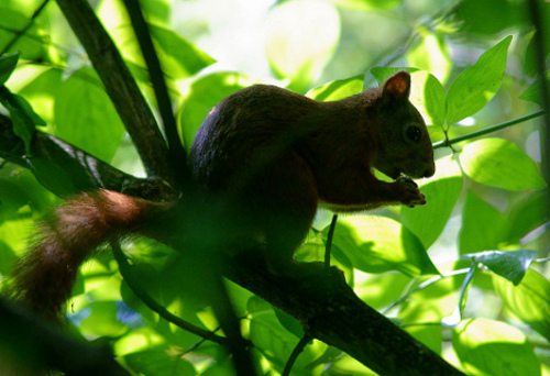 red squirrel Red Squirrels in England Could Be Extinct in 20 Years