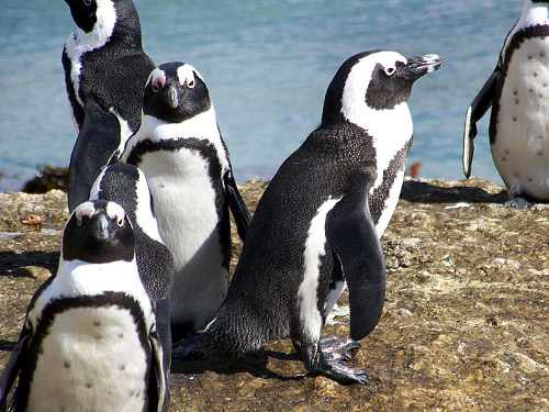 Knit a Sweater for a Penguin Help Save an Oil Spill Victims Life 2 Knit Sweaters for Penguins Hit by Oil Spill