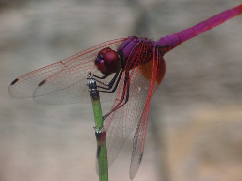 Dragonfly Dragonflies to Aid Future Flying Robot Design