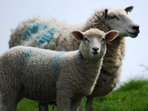 sheep Animal Welfare Associations Call for Ban on Mulesing