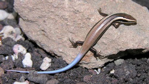 Lizard Scientists Discover 24 New Lizard Species in the Caribbean