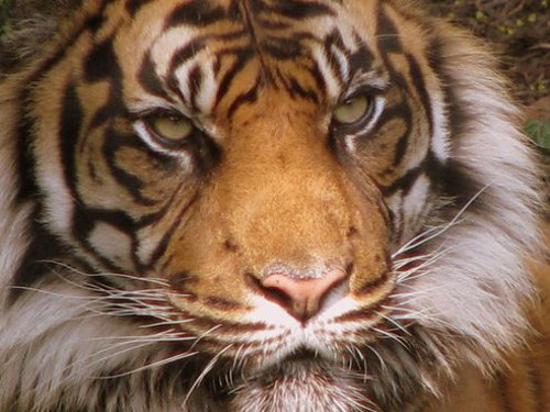 Poaching Wild Cats Still Face Huge Risk of Poaching in Malaysia