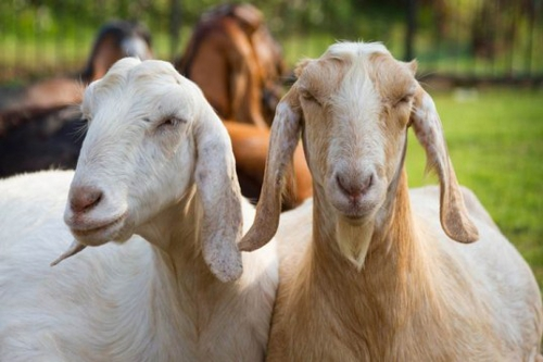 Genetically Engineered Goats to Produce Human Breast Milk Substitute