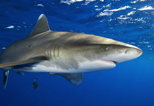 shark1 Costa Rica Fully Bans Shark Finning