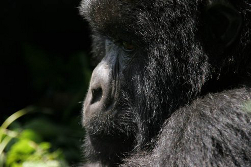 gor1 Conservation efforts Help Push Mountain Gorilla Population Up by 12%