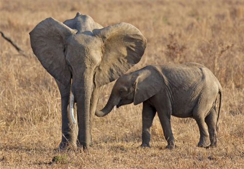 elephants1 African Elephants Face Extinction as Poaching Flourishes