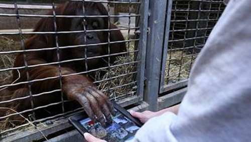 apeapp Orangutans at Smithsonian National Zoo Get iPads