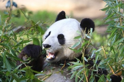panda sitting1 Panda Poo to Generate Electric Power in French Zoo