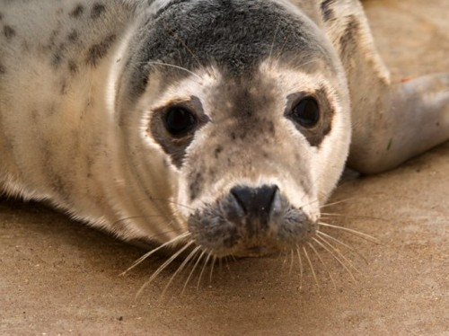seal pup Jude Law Writes to WTO to Keep Seal Fur Off the Racks