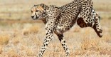A-cheetah-running-009