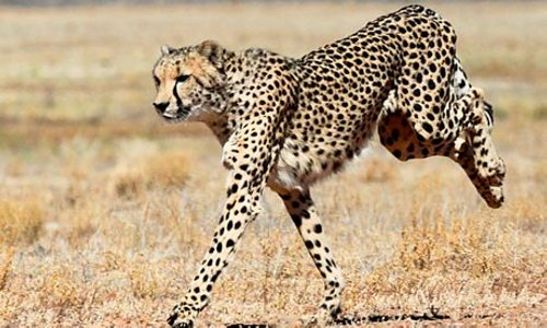 A cheetah running 009 Cheetah Muscle Power Output 4 Times that of Usain Bolt