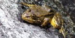 yellow-legged-frog