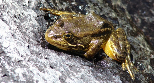 yellow legged frog Efforts On to Save Mountain Yellow Legged Frogs from Extinction