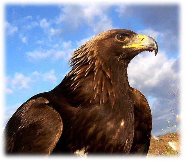 Golden Eagle Unintended Consequences of Wind Farms