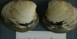 Ming the Clam - Worlds oldest animal at 507 years