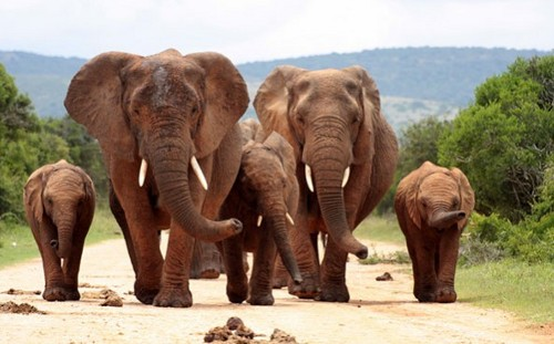 Ivory 30 Nations Unite Against Illegal Ivory Poaching
