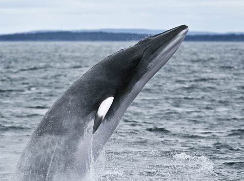 Antarctic Mink Whale Mysterious Duck Sound In The Southern Ocean Attributed To Antarctic Whales