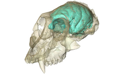 Victoriapithecus complex brain Primates Possessed Tiny, but Complex, Brains; Reveals Ancient Monkey Skull