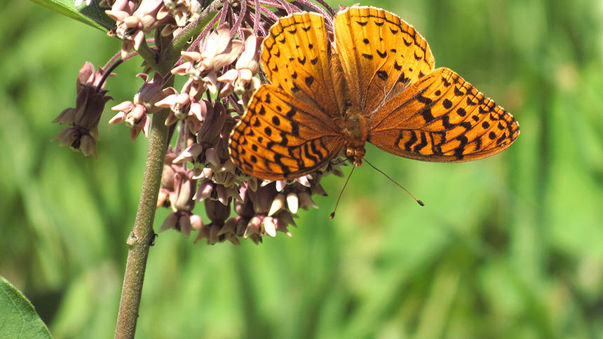 butterfly Butterfly Count Dips