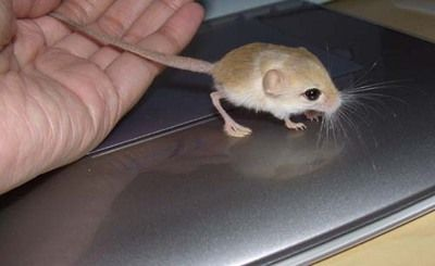jeroba World's Smallest Rodent Found in China