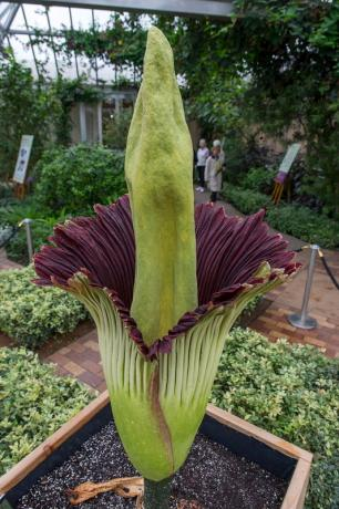 corpse flower Chicago Blooms its First Ever Corpse Flower, Alice
