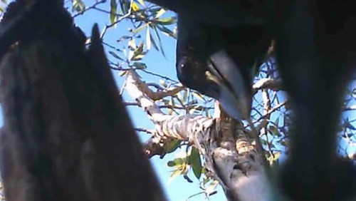 crow e1451297764849 Scientists Reveal Rare Footage of Wild Crows Shaping Hooked Tool