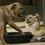 puppy vs lion cub 17 150x150 Lion Cub and Puppy Playing Together